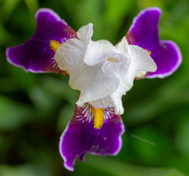 Pączek pięknej bieli z fioletowymi płatkami kwiatu irysa w kroplach rosy