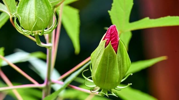 Pączek różowy kwiat w parku miasta soczi. rosja