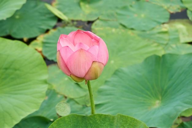 Pączek różowy lotosu kwitnący na jeziorze. piękny letni krajobraz
