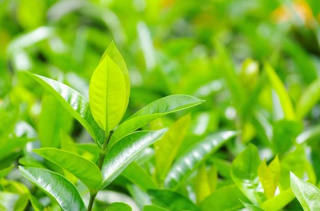 Pączek zielonej herbaty i świeże liście