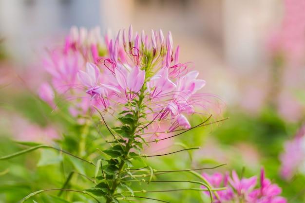 Pająk kwiat (cleome hassleriana) różowy i biały w ogrodzie z niewyraźne tło