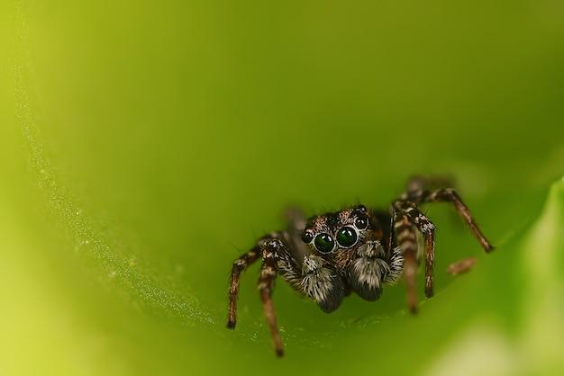 Pająk skoczek makro arachnofobia