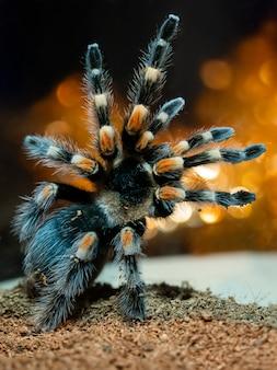 Pająk tarantuli. niebezpieczny owad w specjalnym terrarium.