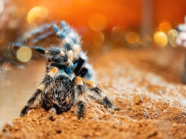Pająk tarantuli