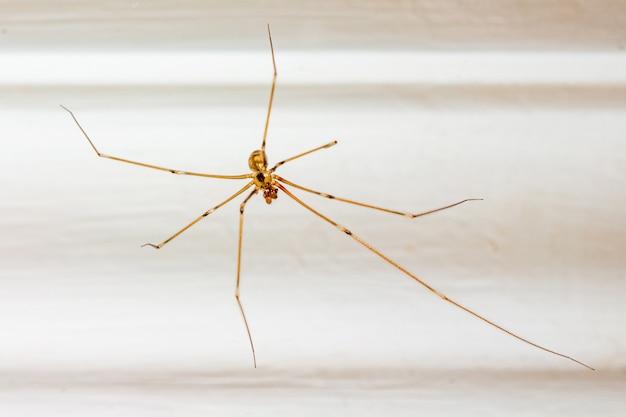 Pająk w pokoju na białym tle. owady w domach ludzi