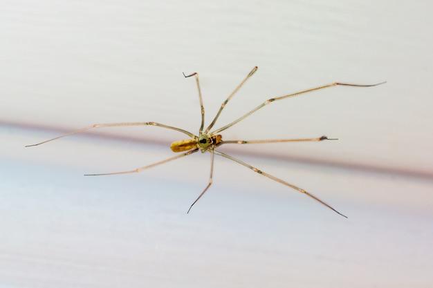 Pająk w pokoju z bliska. owady w pobliżu ludzi