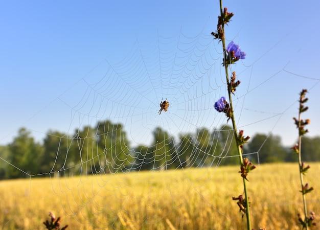 Pająk w sieci. łodyga cykorii na rozmytym tle pola rolnika