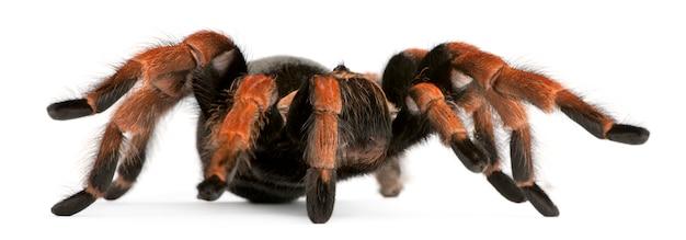 Pająka tarantula, brachypelma boehmei, przed białym tle