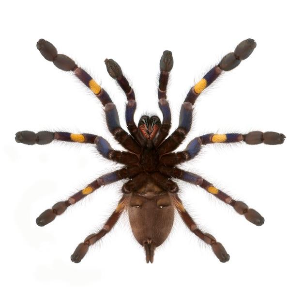 Pająka tarantula, poecilotheria metallica, przed białym tle
