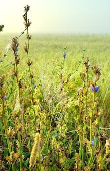 Pajęczyna w trawie. łodygi cykorii na rozmytym tle pola we mgle