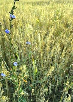 Pajęczyny w trawie. łodyga cykorii na skraju pola na rozmytym tle