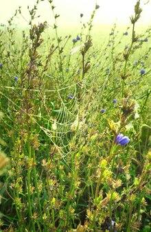 Pajęczyny w trawie. zarośla cykorii we mgle wcześnie rano
