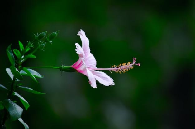 Pąk kwiatu hibiskusa w pełnym rozkwicie w ogrodzie w jasny słoneczny dzień