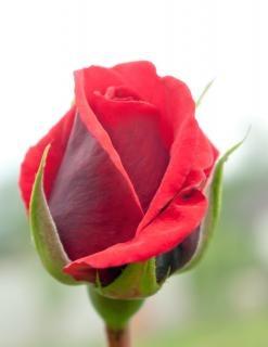 Pąk róży, płatki