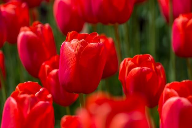 Pąki czerwonych tulipanów z bliska podczas kwitnienia. pole z kwiatami w parku