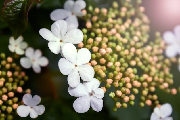 Pąki i kwiaty kaliny opulus na rozmytym ciemnozielonym tle