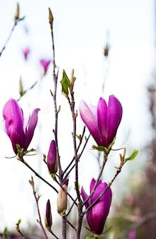 Pąki kwiatowe magnolii na zbliżenie gałęzi