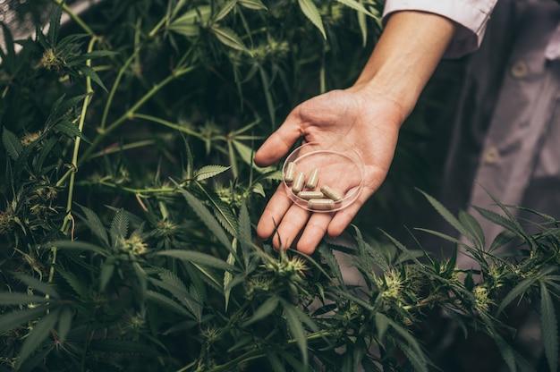Pąki kwiatowe marihuany. odmiana marihuany rekreacyjnej. szczep konopi indyjskich. pączek chwastów w szklanym słoju. menu przychodni. pąki konopi.