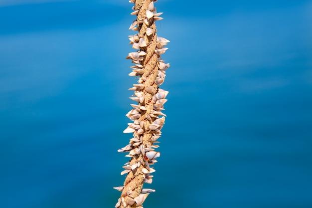 Pąkle rosnące w linach morskich
