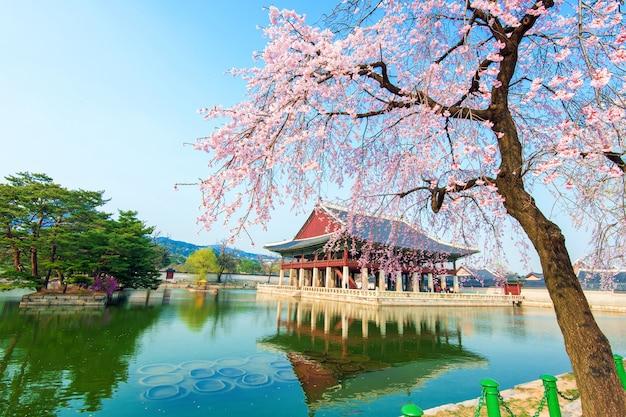 Pałac gyeongbokgung z kwiatem wiśni wiosną, korea.