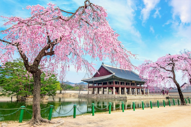 Pałac gyeongbokgung z kwitnącą wiśnią wiosną, seul w korei.