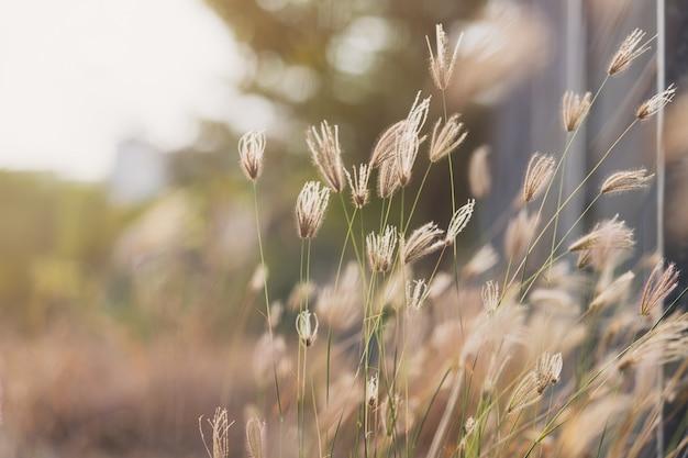 Palcowa trawa z rozmytym zielonej trawy i światła słonecznego tłem (nabrzmiała palcowa trawa)
