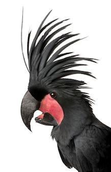Palm cockatoo - probosciger aterrimus znany również jako kakadu goliat