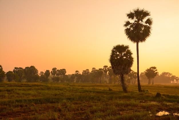 Palma cukrowa i ryż złożony o zachodzie słońca