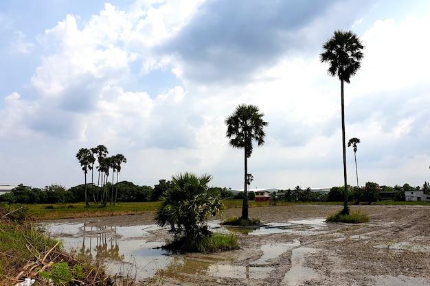 Palma cukrowa w orce pola ryżowego