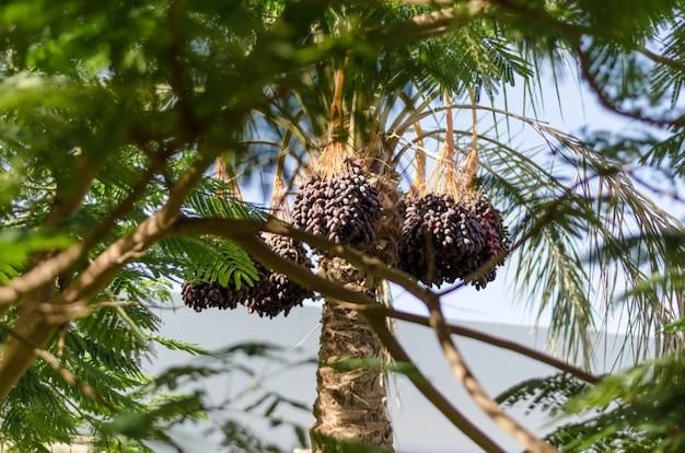 Palma daktylowa z owocami