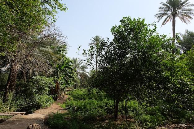 Palma daktylowa z rodziny palm uprawiana ze względu na słodkie jadalne owoce