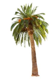 Palma daktylowa z zielonymi liśćmi na białym tle