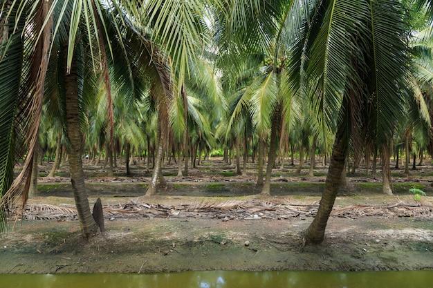 Palma kokosowa