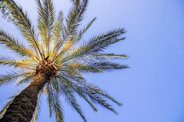 Palma na tle błękitnego nieba. pojęcie zwrotnika, wakacji i podróży