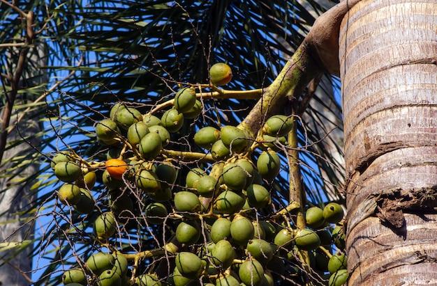 Palma orzechowa areka, orzechy betelowe, palma betelowa (areca catechu) wisząca na drzewie