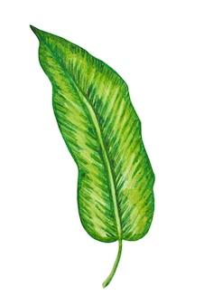 Palma, tropikalny liść na białym tle. ręcznie rysowane ilustracji. lato, element projektu.