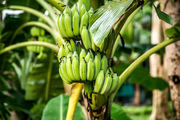 Palma z zielonymi bananami