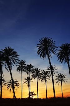 Palmowe drzewa zachód słońca złote niebo niebieskie podświetlenie