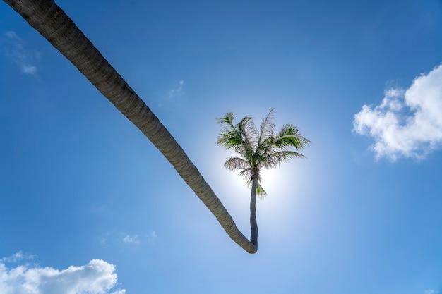 Palmy kokosowe zakrzywione wiszące nad morzem na tropikalnej plaży, tajlandia. palmy i błękitne niebo w tle