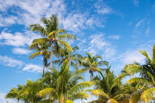 Palmy na słonecznym błękitnym niebie w great stirrup cay, bahamy. palmy kokosowe z zielonymi liśćmi w tropikalnym ogrodzie. przyroda, tropikalna, egzotyczna, roślinna. letnie wakacje, żądza wędrówek.