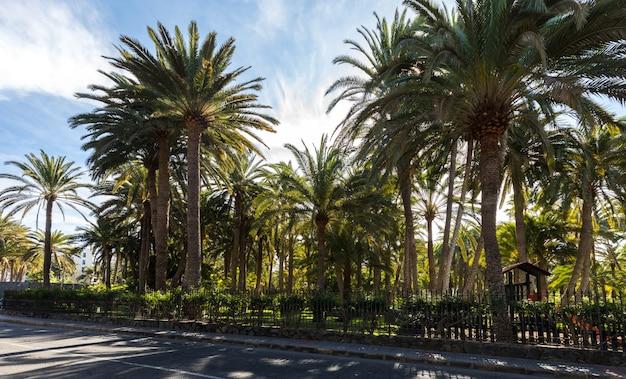 Palmy rosnące w parku w maspalomas, gran canaria w hiszpanii. droga z przodu.