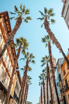 Palmy w handlowej dzielnicy malagi przy calle puerta del mar