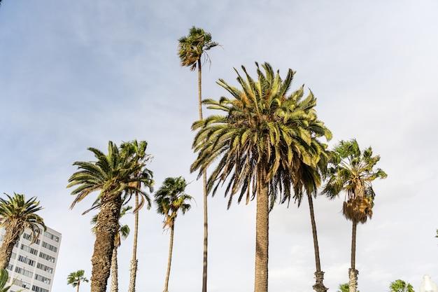 Palmy wieczorem na ulicach los angeles w kalifornii