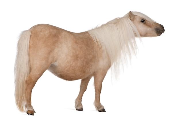 Palomino kuc szetlandzki, equus caballus stojący jon biały na białym tle