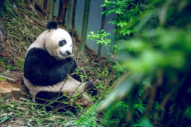 Panda wielka