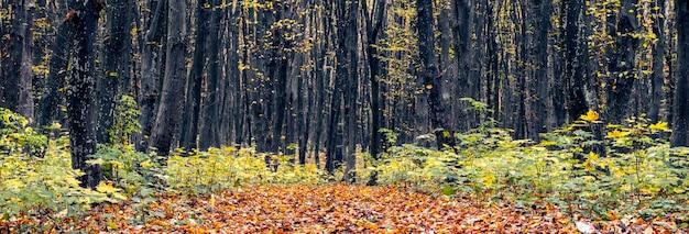 Panorama jesiennego lasu z ciemnymi pniami i kolorowymi liśćmi na drzewach. jesienny las