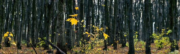 Panorama jesiennego lasu z ostatnimi liśćmi na drzewach