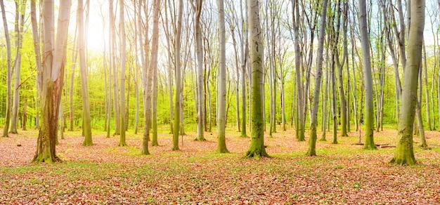 Panorama jesiennego lasu z żółtymi opadłymi liśćmi i zielonymi drzewami