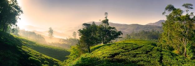 Panorama plantacji herbaty o wschodzie słońca, kerela, indie