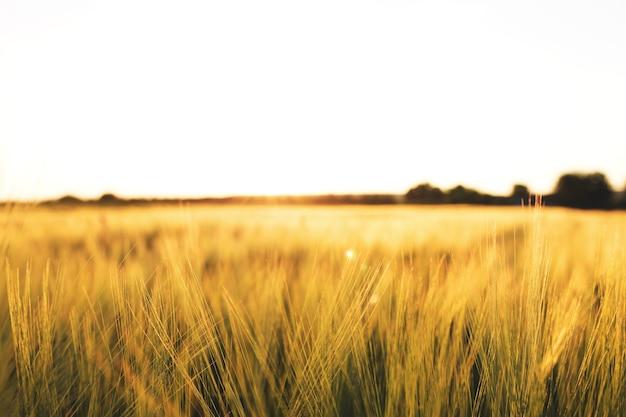 Panorama pól pszenicy złotej golden